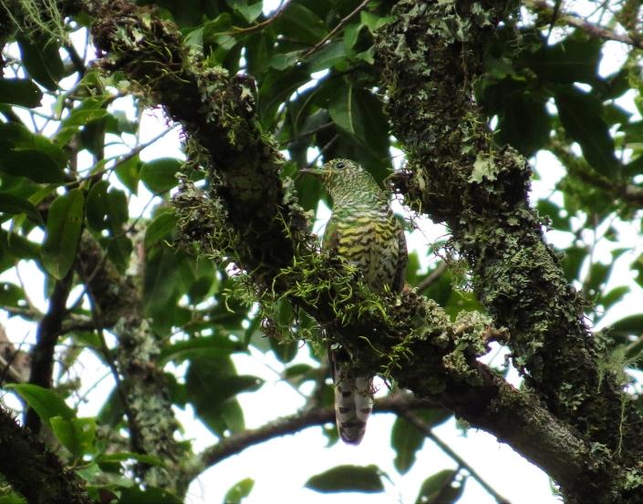 Emerald Cuckoo2