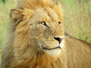 Lion Male 1