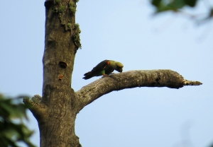 Cape Parrot small
