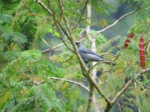 Grey Cuckoo-shrike a