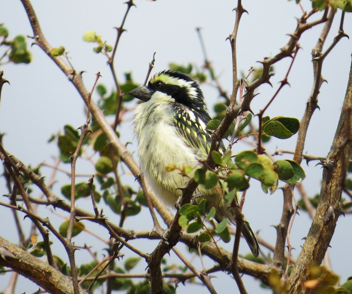 Pied Barbet cropped