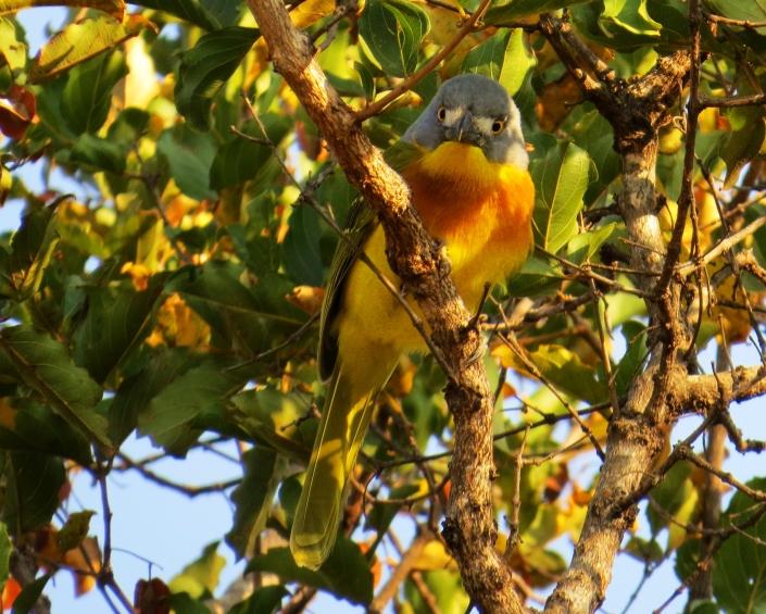 un oiseau à trouver Martin 20 mars trouvé par Martine - Page 2 Grey-headed-bushshrike