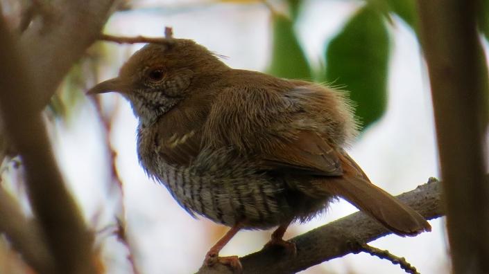 Miombo Wren wabler