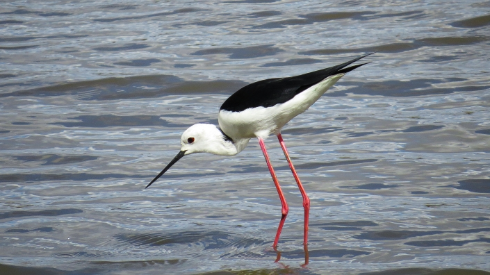 Black-winged Stilt1