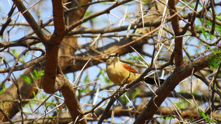 Brown-crowned Tchagra2