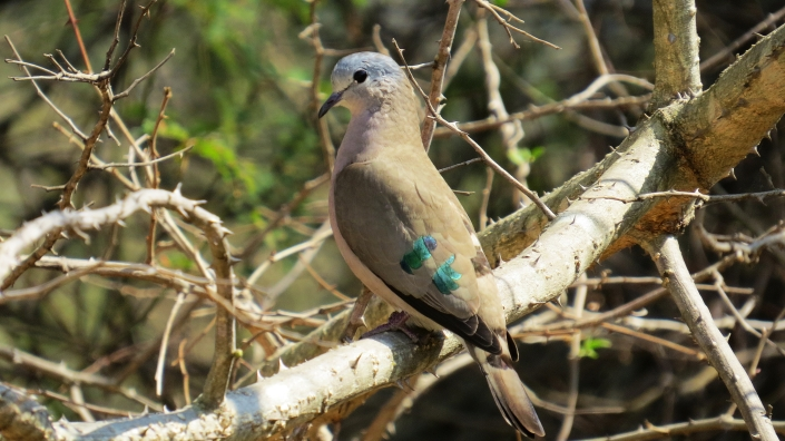 Emerald-spotted Wooddove