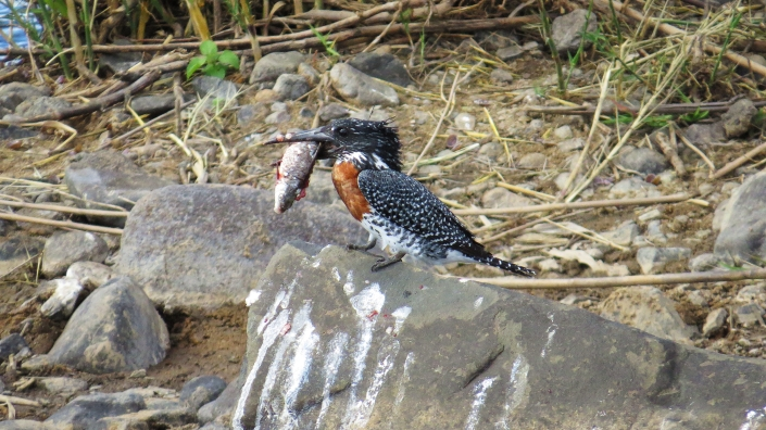 Giant Kingfisher2