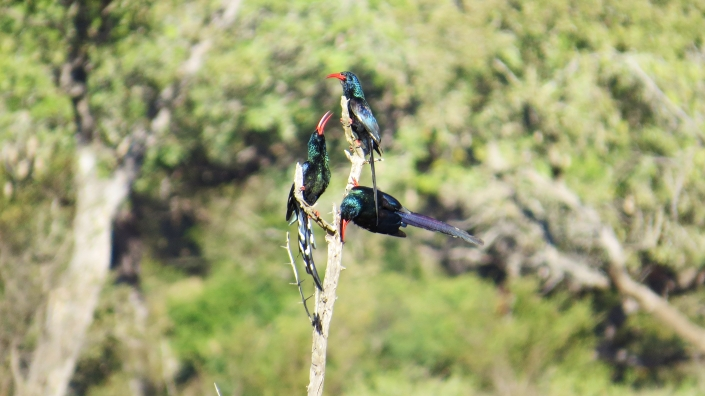 Red-billed Woodhoopoe2