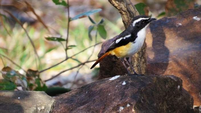 white-throat robin