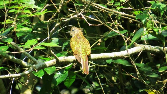African emerald cuckoo female1
