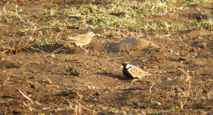 Grey-backed Sparrow-lark2
