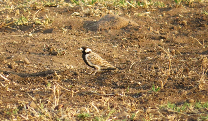Grey-backed Sparrow-lark3