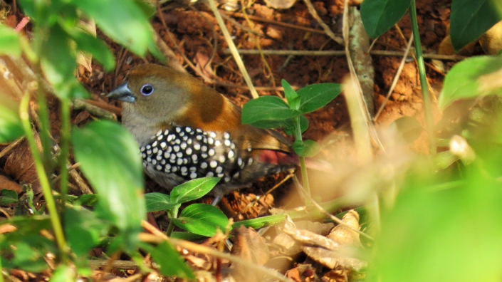 Pink-throated Twinspot Female2