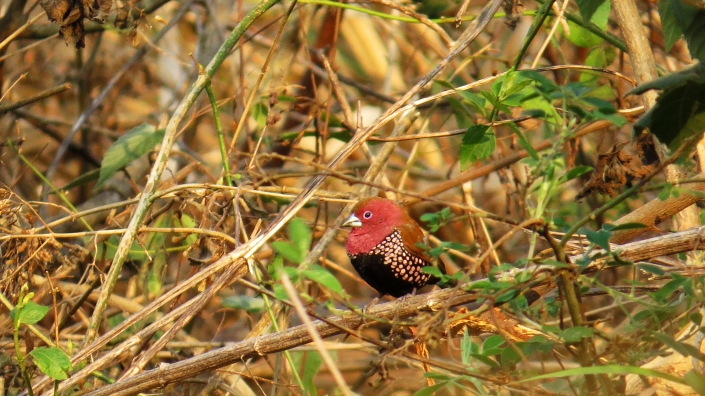 Pink-throated Twinspot1