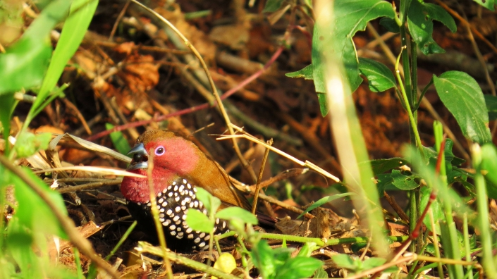 Pink-throated Twinspot5