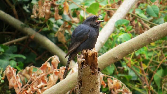 Southern Black Flycatcher1