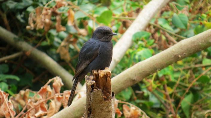 Southern Black Flycatcher2
