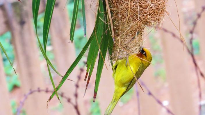 Spectacled Weaver Nesting