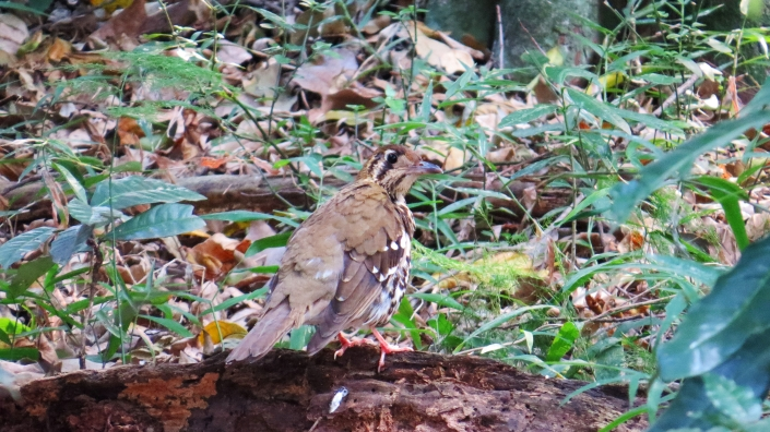 Spotted Ground-thrush2