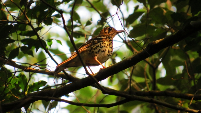 Spotted Ground-thrush4