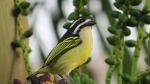 Yellow-rumped Tinkerbird1