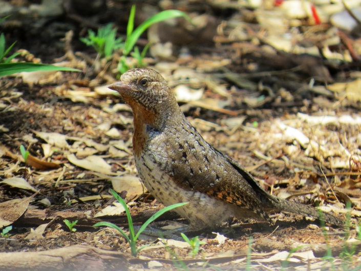 Red-throated Wryneck2