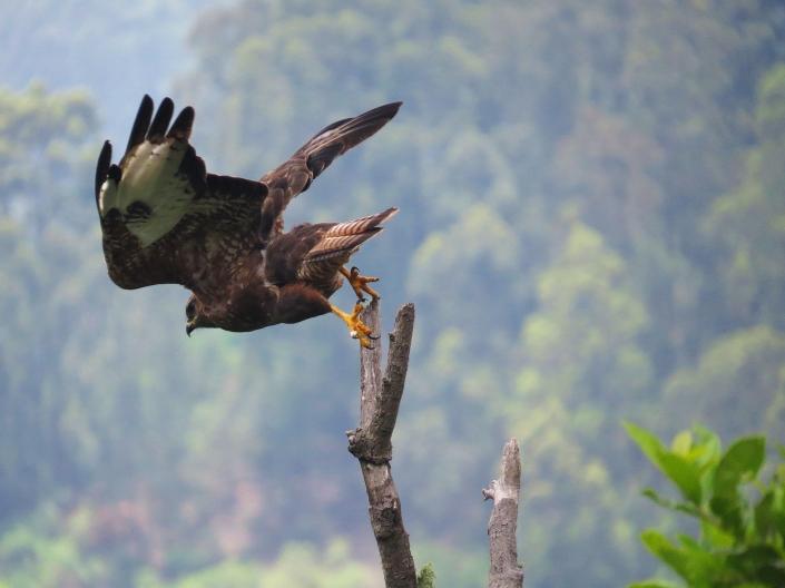 Steppe-buzzard