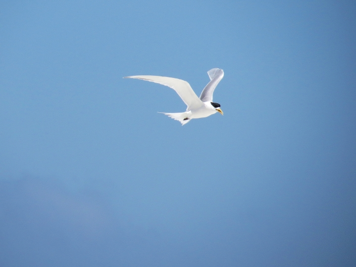 Swift Tern1