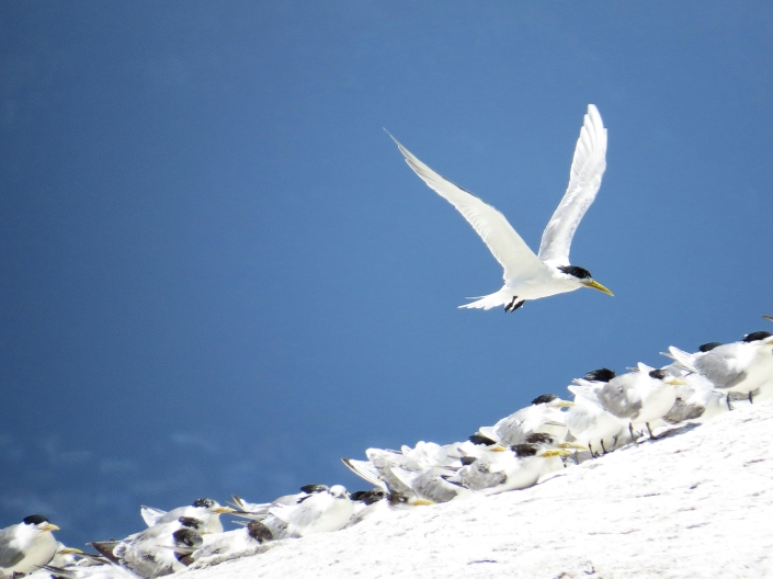Swift Tern2