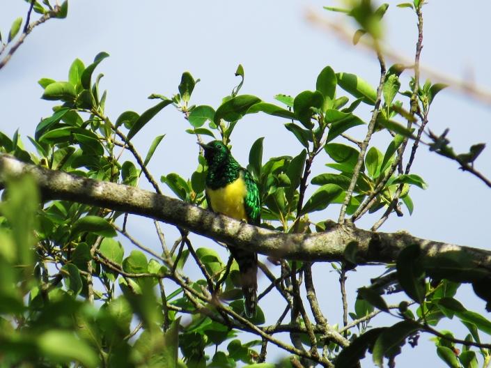 African Emerald Cuckoo1