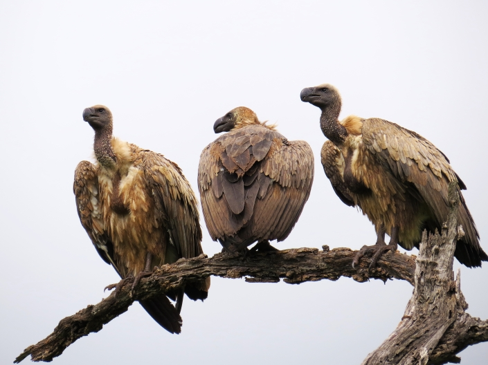 White-backed Vulture2