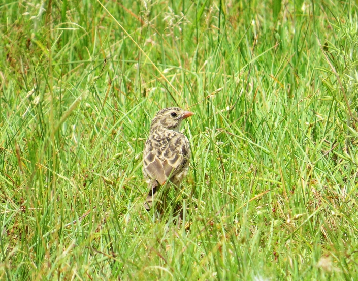 Botha's Lark1 cropped