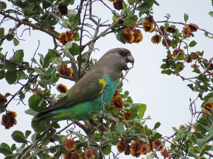 Meyer's Parrot1