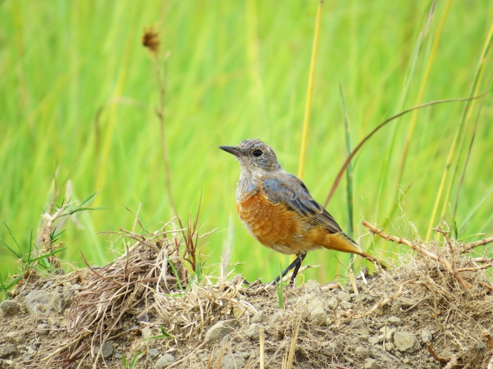 Sentinel Rock-thrush Male3