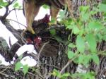 Tawny Eagle2