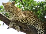 Leopard Pretoriuskop
