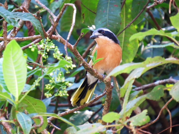 Olive bush-shrike 1