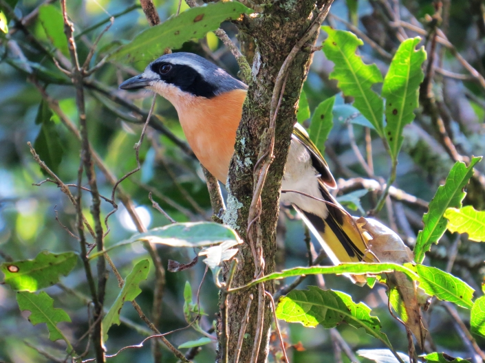Olive bush-shrike 2
