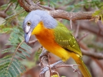 Grey-headed Bush-shrike3