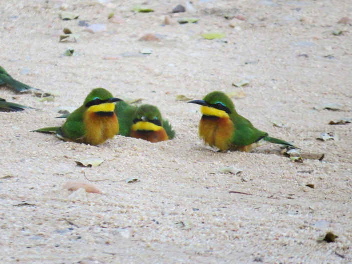 Little bee-eater1