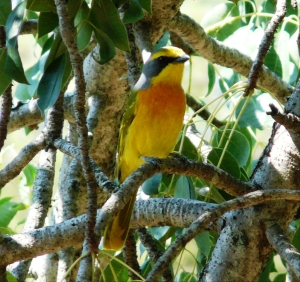 Orange-breasted Bush-shrike