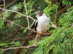 White-helmeted Shrike 2