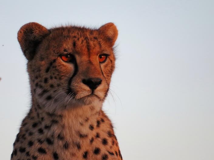 Cheetah7