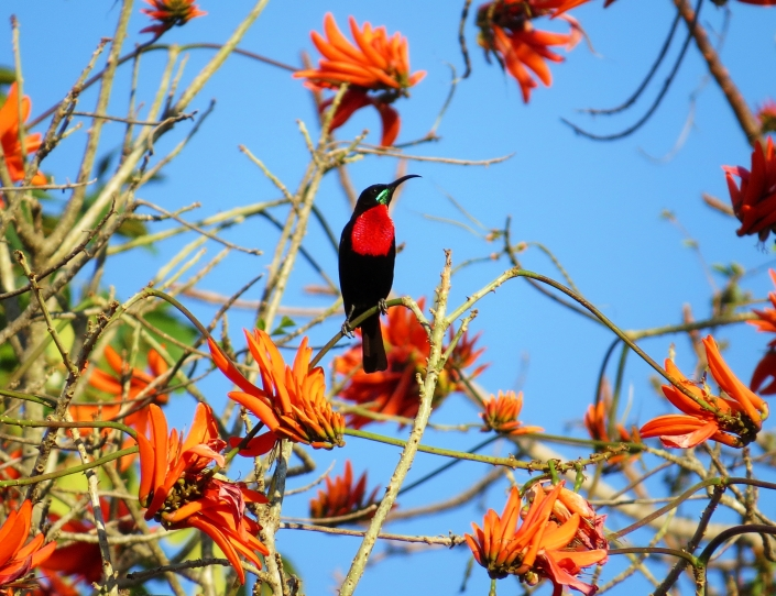 Scarlet-chested Sunbird cropped