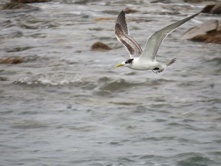 Swift Tern1