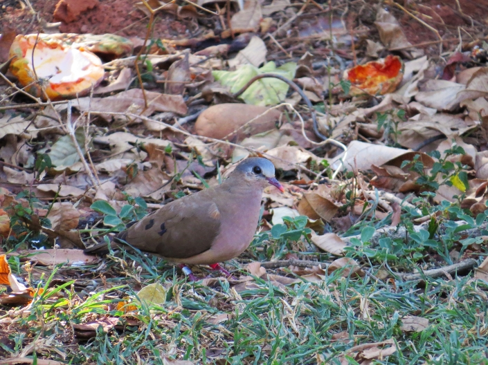 Blue-spotted Wood-dove1