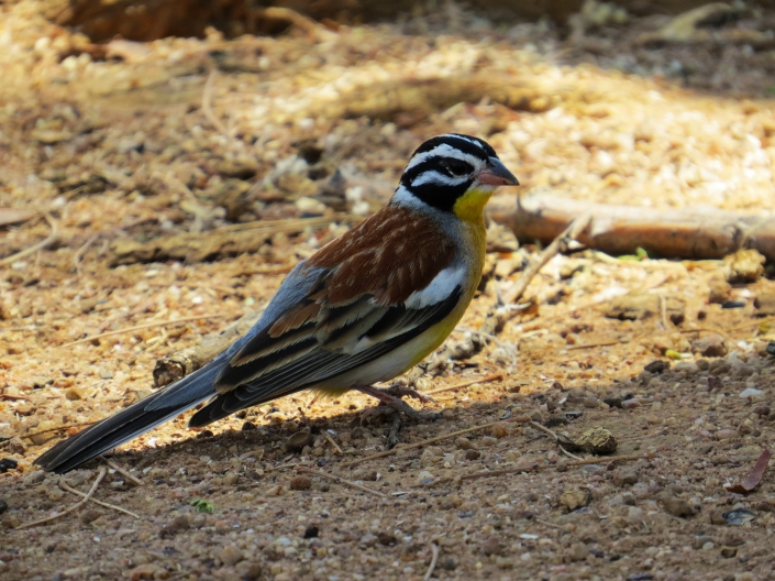 Golden-breasted Bunting1
