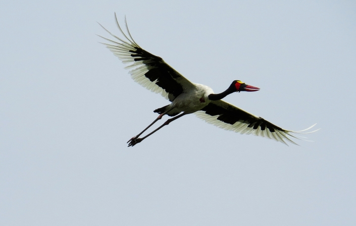 Saddle-billed Stork4crop
