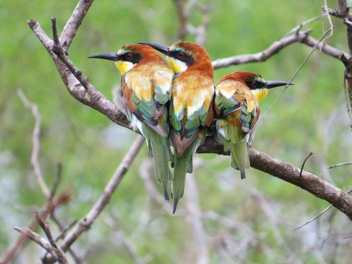 European Bee-eater1