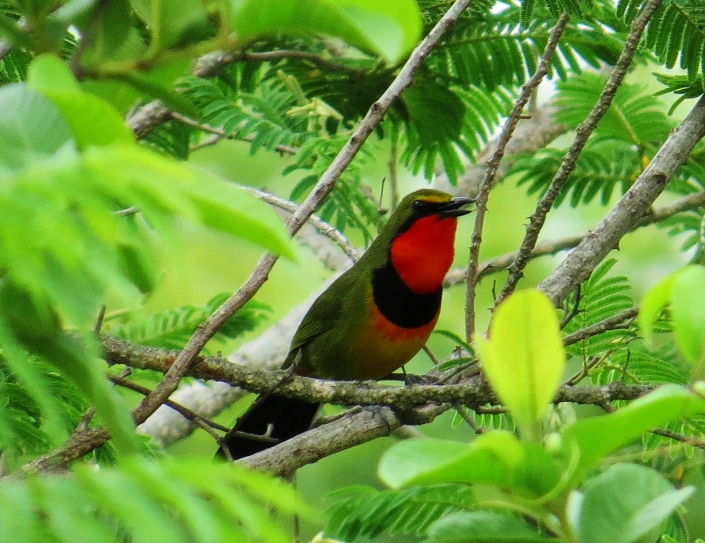 Four-coloured Bush-shrike2